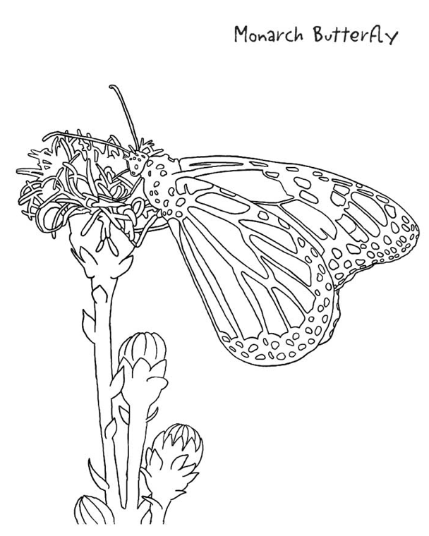 butterfly coloring pages - Monarch Butterfly Coloring Page