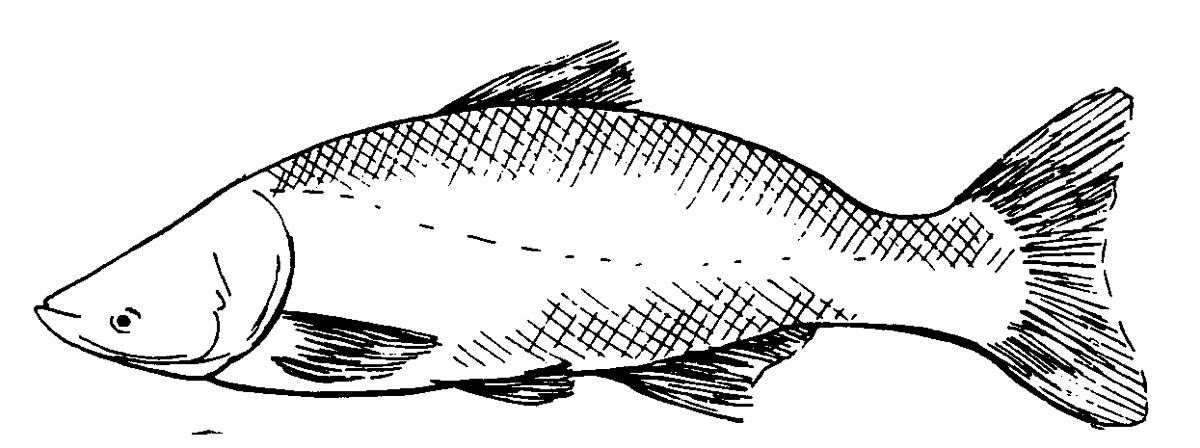 Carp Coloring Page Book
