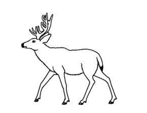 coloring pages mule deer - photo#3